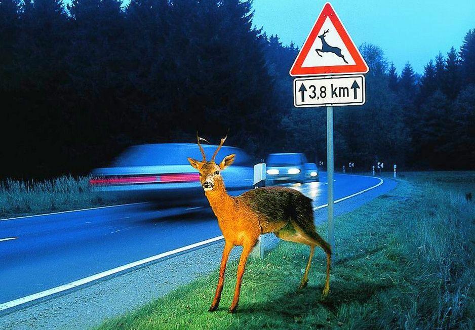 Verliebte Rehe: Vorsicht beim Autofahren