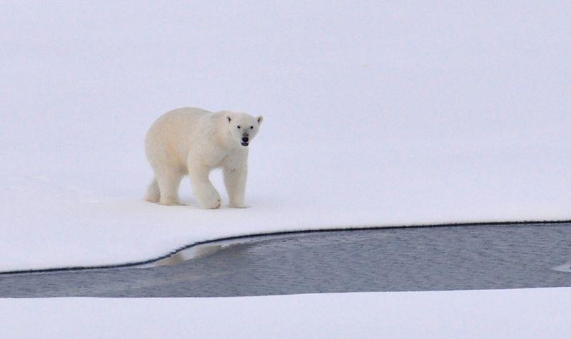 Eisbären sind vom Aussterben bedroht