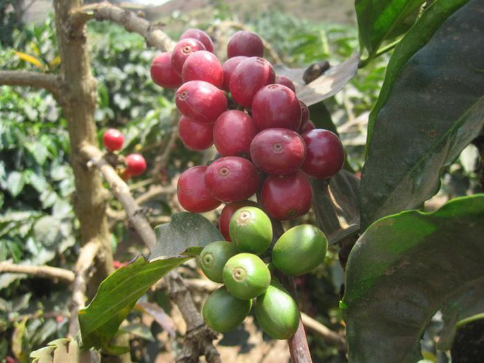 Reife und unreife Kaffeekirschen