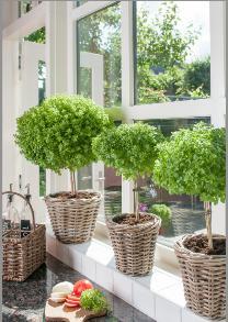 Veredeltes Basilikum-Bäumchen Basil Tree