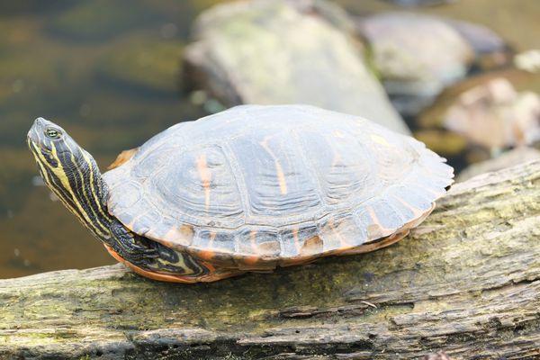 Gelbwangen-Schmuckschildkröte beim Sonnenbaden