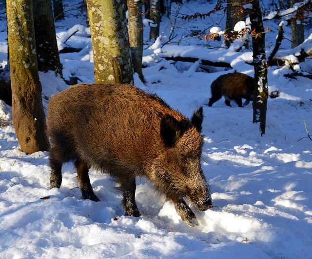Wildschweine haben gute Mütter - jetzt ziehen sie den Nachwuchs auf