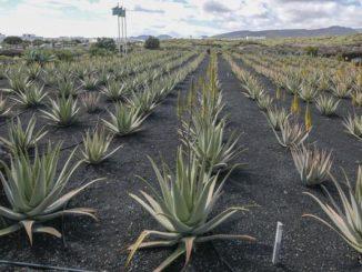 Aloe-Vera-Anbau auf der Kanareninsel Lanzarote