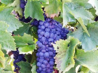 Solche Trauben können einfach nur hervorragende Weine hervorbringen